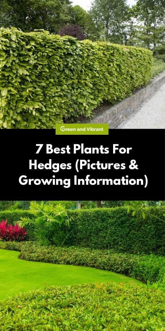 7 Best Plants For Hedges (Pictures & Growing Information)