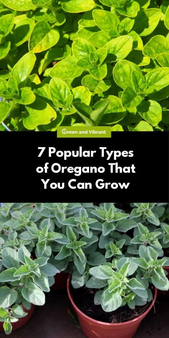 7 Popular Types of Oregano That You Can Grow