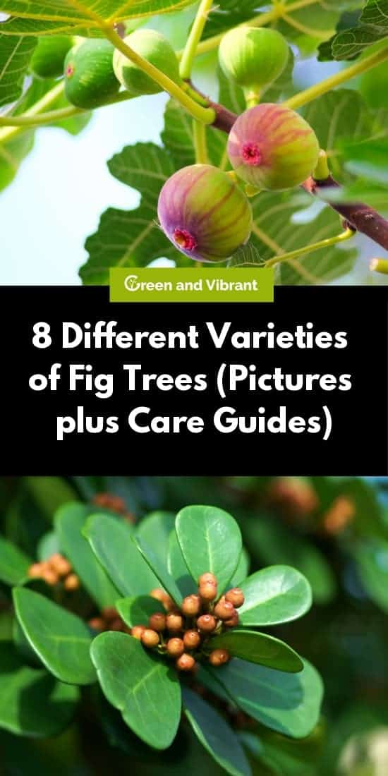 8 Different Varieties of Fig Trees (Pictures plus Care Guides)