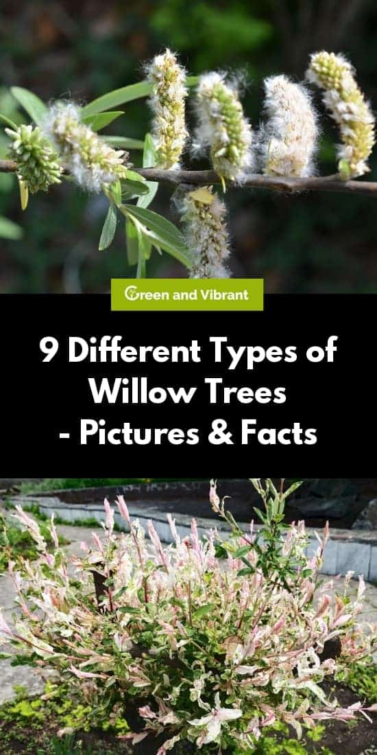 9 Different Types of Willow Trees - Pictures & Facts