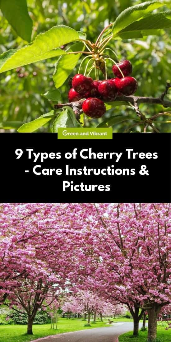9 Types of Cherry Trees - Care Instructions & Pictures