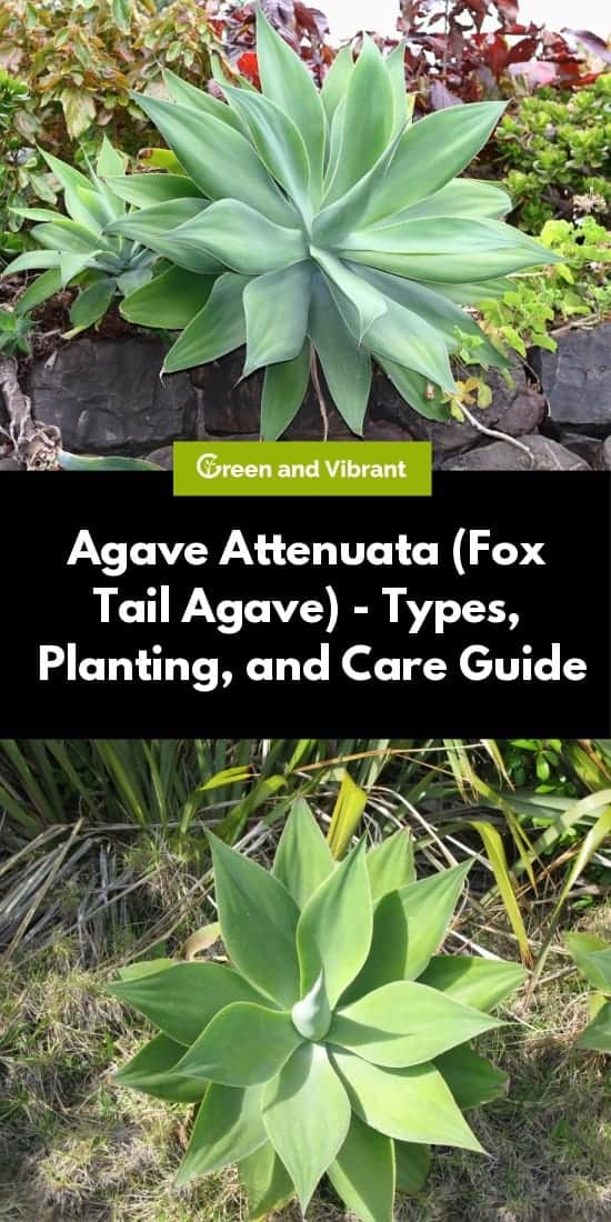 Agave Attenuata (Fox Tail Agave) - Types, Planting, and Care Guide