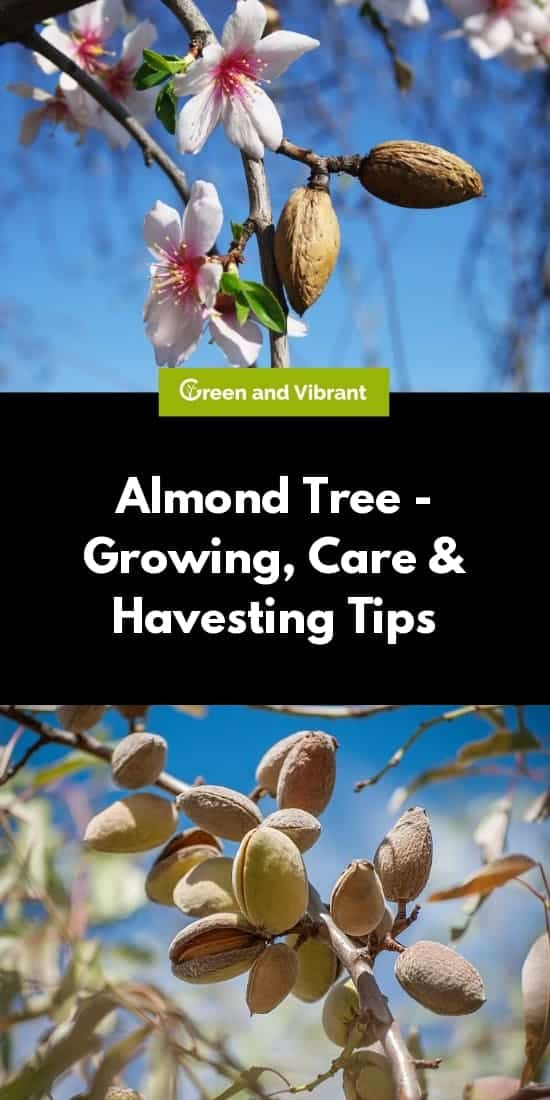 Almond Tree - Growing, Care & Havesting Tips