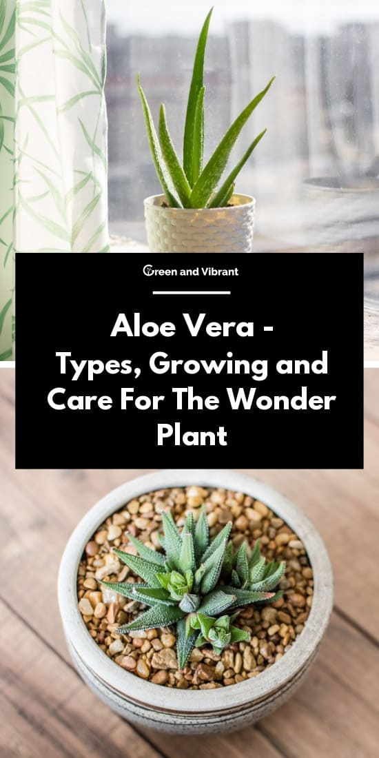 Aloe Vera - Types, Growing and Care For The Wonder Plant