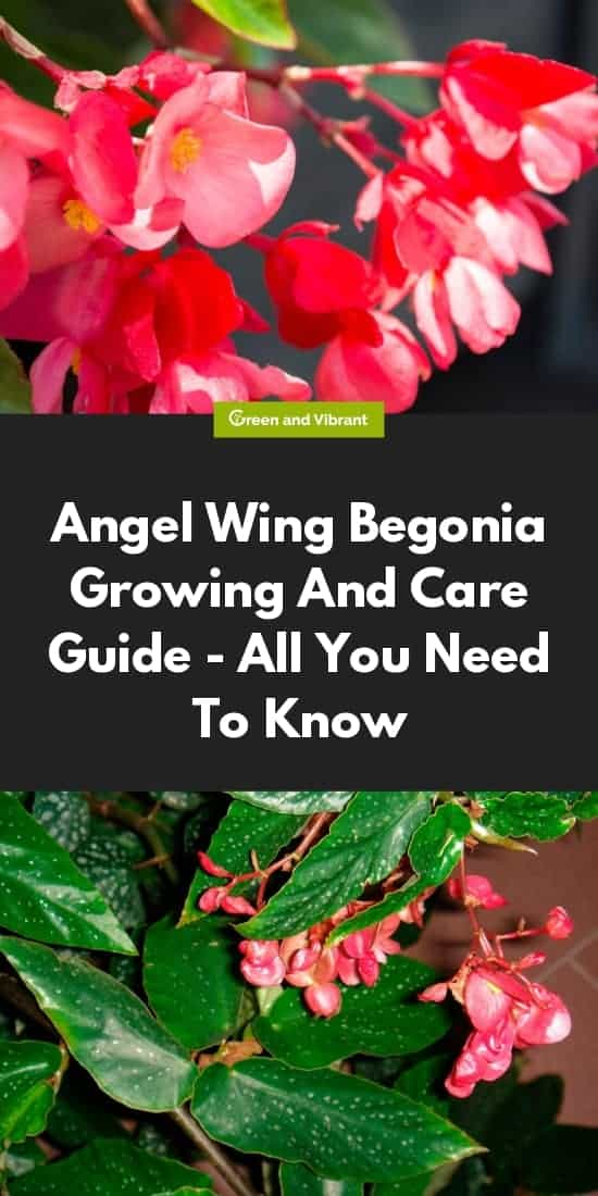 Angel Wing Begonia Growing And Care Guide - All You Need To Know