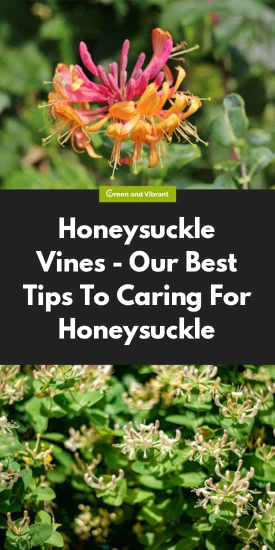 Honeysuckle Vines - Our Best Tips To Caring For Honeysuckle