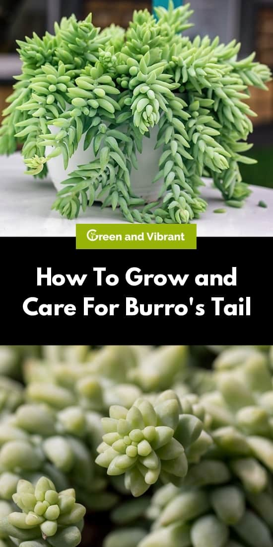 How To Grow and Care For Burro's Tail