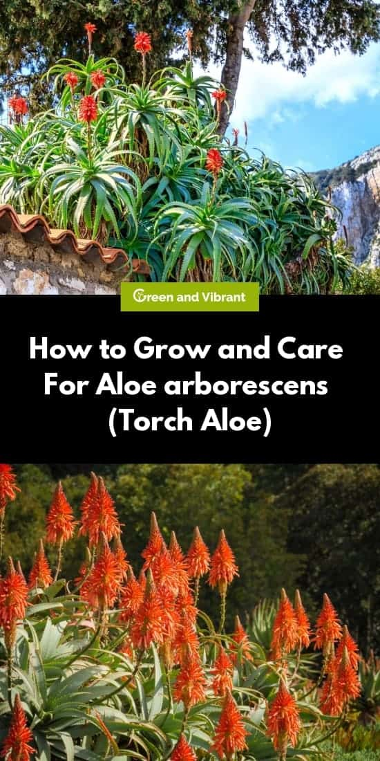 How to Grow and Care For Aloe arborescens (Torch Aloe)