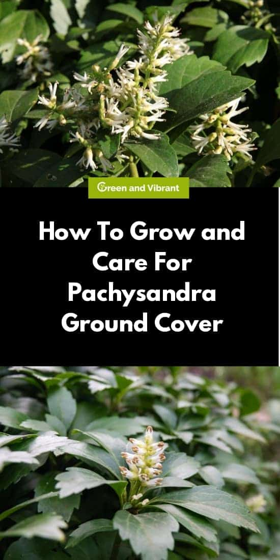 How To Grow and Care For Pachysandra Ground Cover
