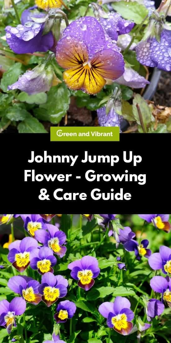 Johnny Jump Up Flower - Growing & Care Guide