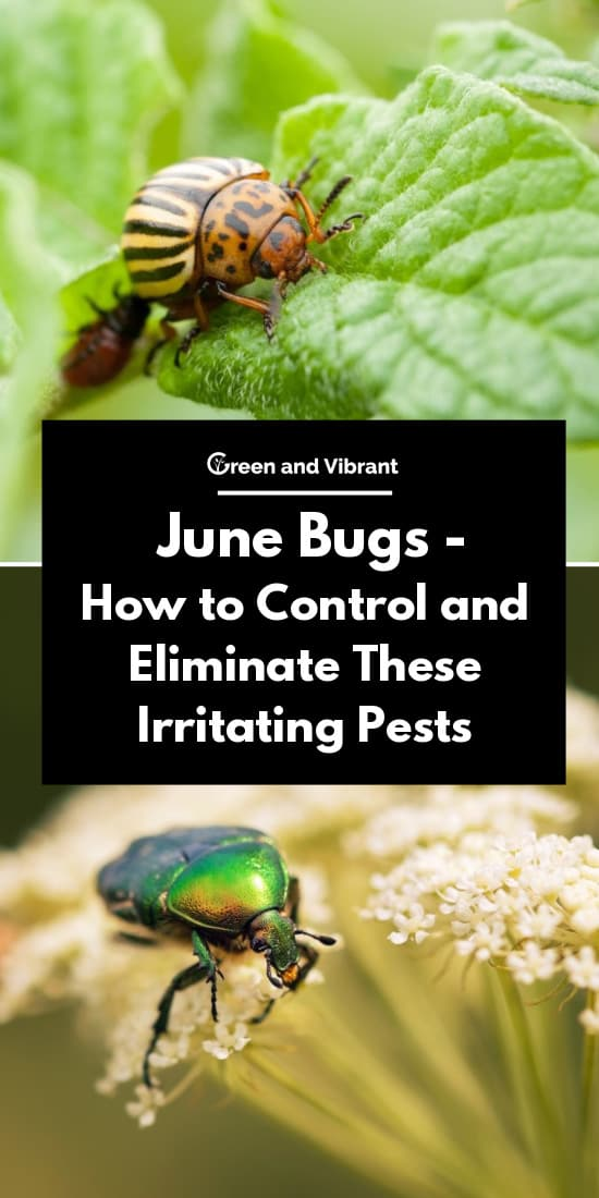 June Bugs - How to Control and Eliminate These Irritating Pests