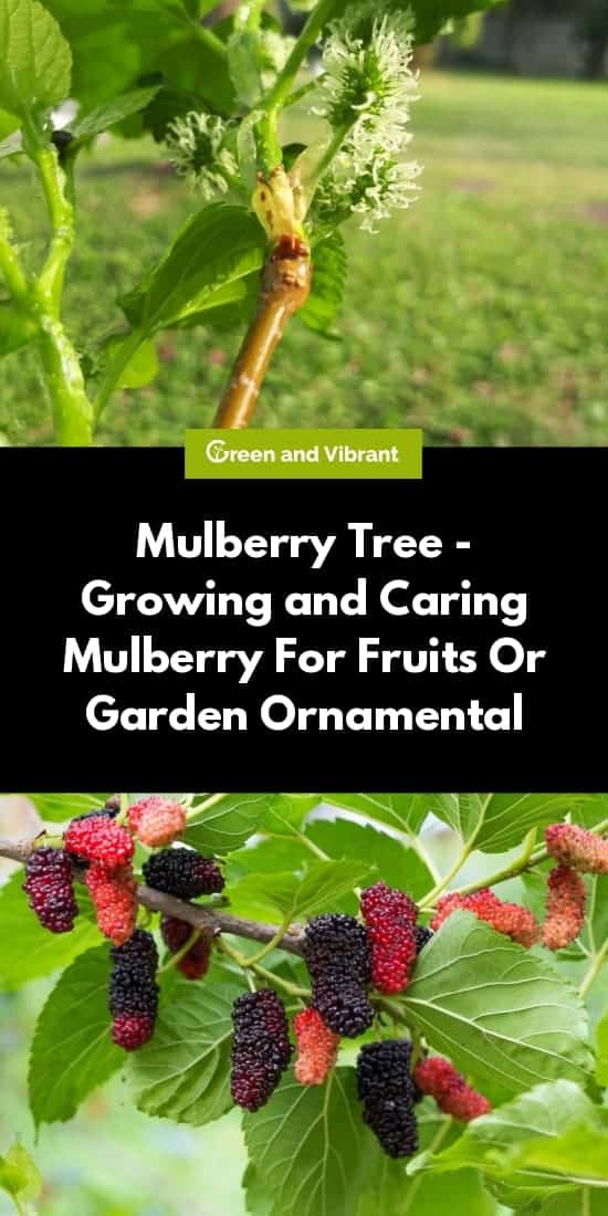 Mulberry Tree - Growing and Caring Mulberry For Fruits Or Garden Ornamental