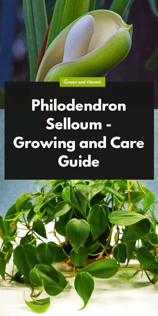 Philodendron Selloum - Growing and Care Guide | Green and
