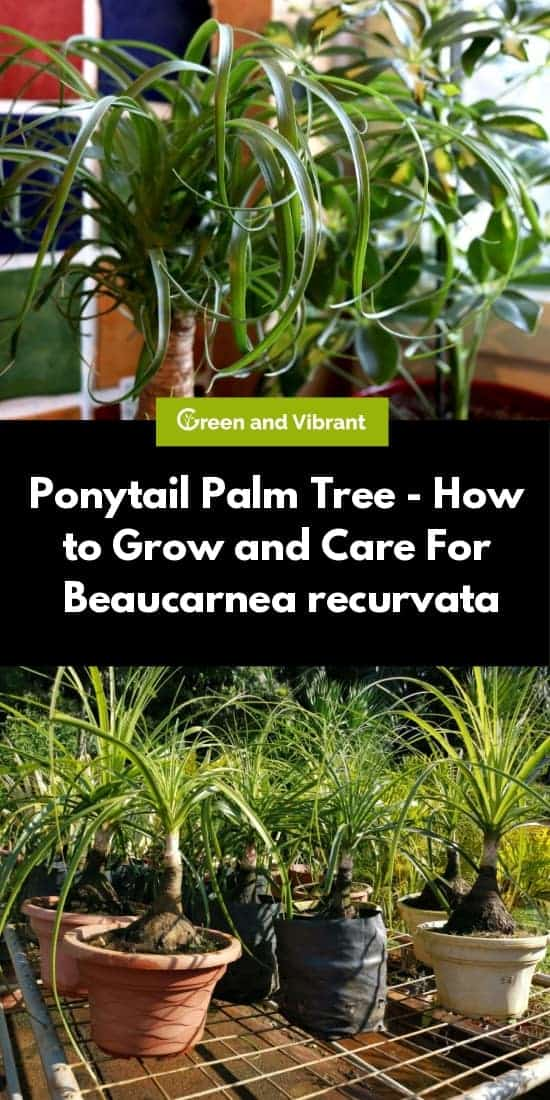 Ponytail Palm Tree - How to Grow and Care For Beaucarnea recurvata