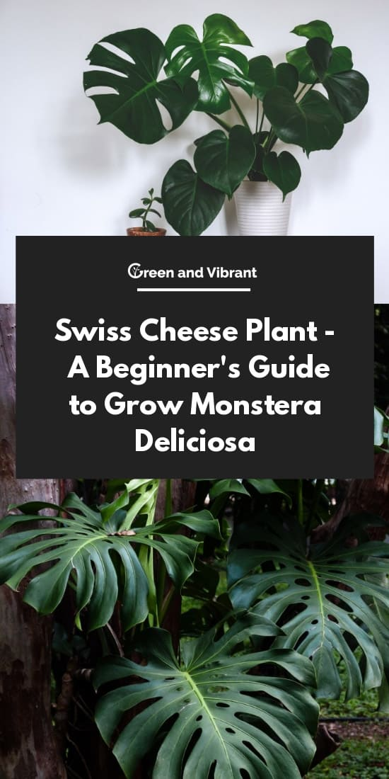 Swiss Cheese Plant - A Beginner'S Guide To Grow Monstera Deliciosa