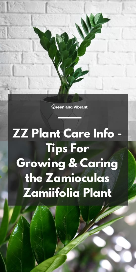 ZZ  Plant Care Info - Tips For Growing & Caring the Zamioculas zamiifolia Plant