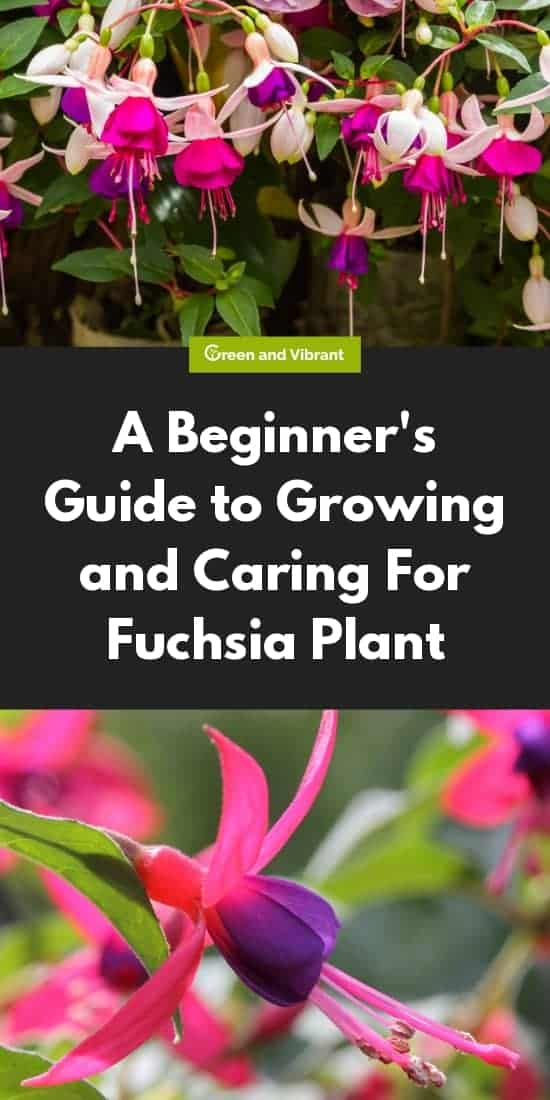 A Beginner's Guide to Growing and Caring For Fuchsia Plant