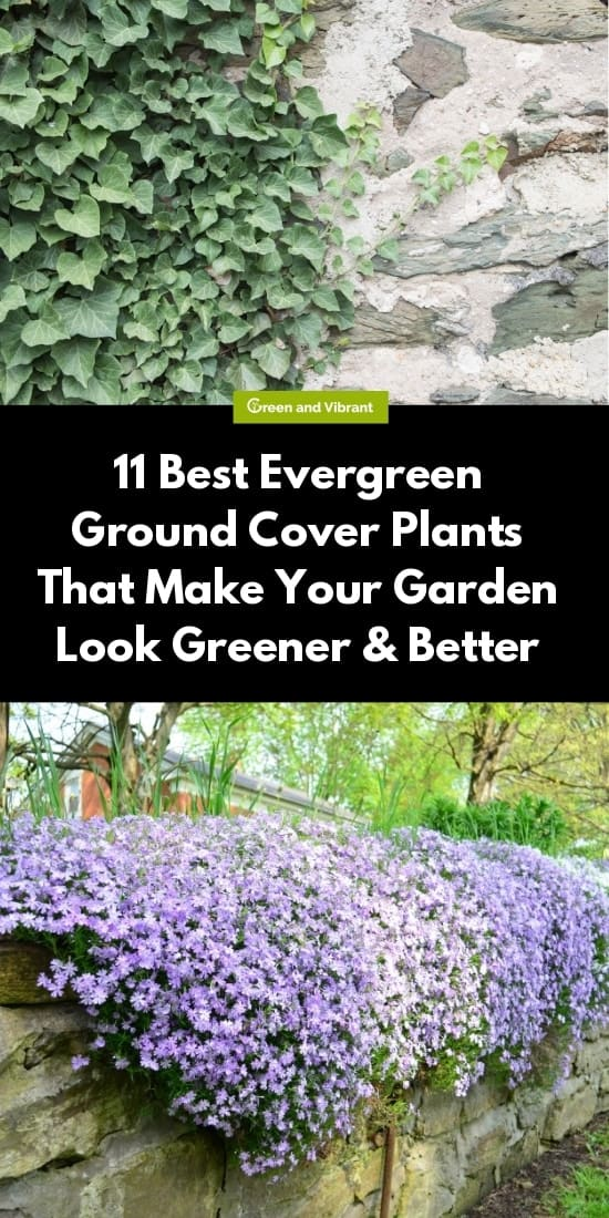 11 Best Evergreen Ground Cover Plants That Make Your Garden Look Greener & Better