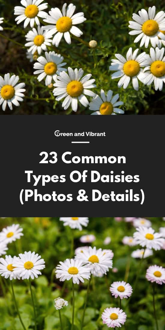 23 Common Types Of Daisies (Photos & Details)