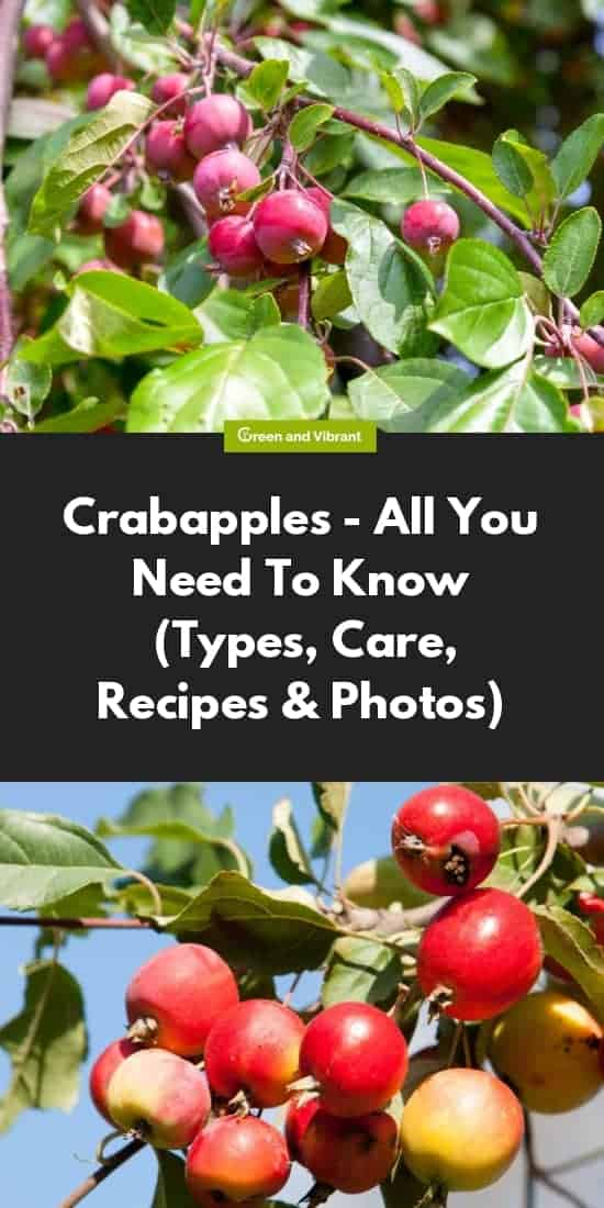 Crabapples - All You Need To Know (Types, Care, Recipes & Photos)