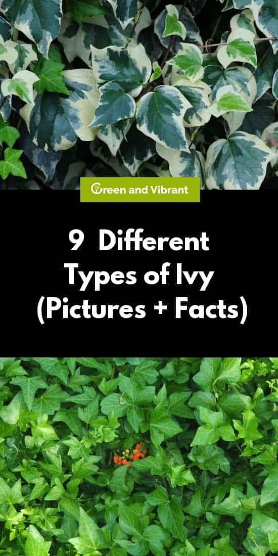 9 Different Types of Ivy (Pictures + Facts)