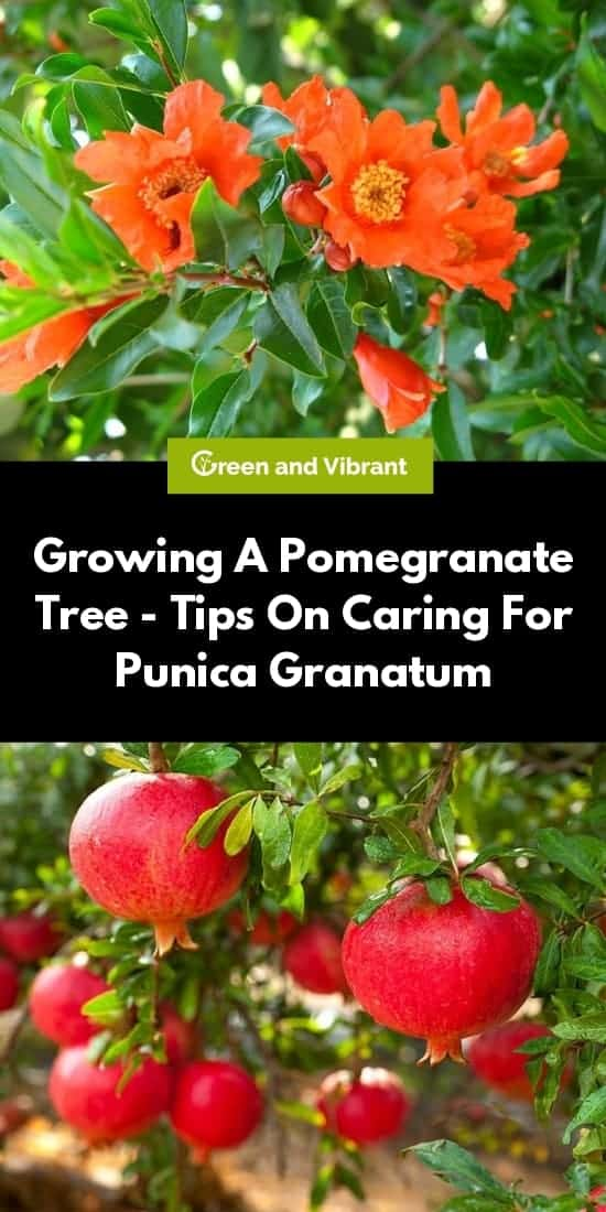 Growing A Pomegranate Tree - Tips On Caring For Punica Granatum