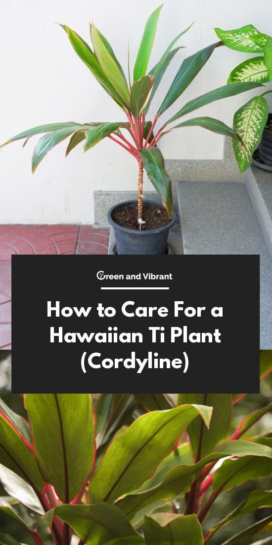 How to Care For a Hawaiian Ti Plant Cordyline