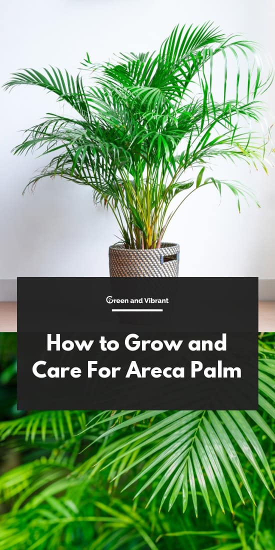 How to Grow and Care For Areca Palm
