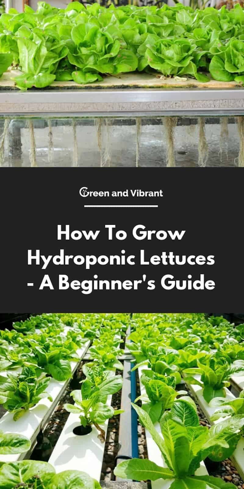 How To Grow Hydroponic Lettuces - A Beginner's Guide