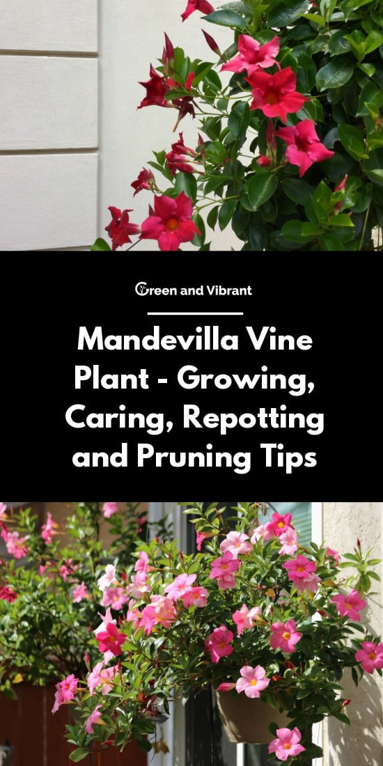 Mandevilla Vine Plant - Growing, Caring, Repotting and Pruning Tips