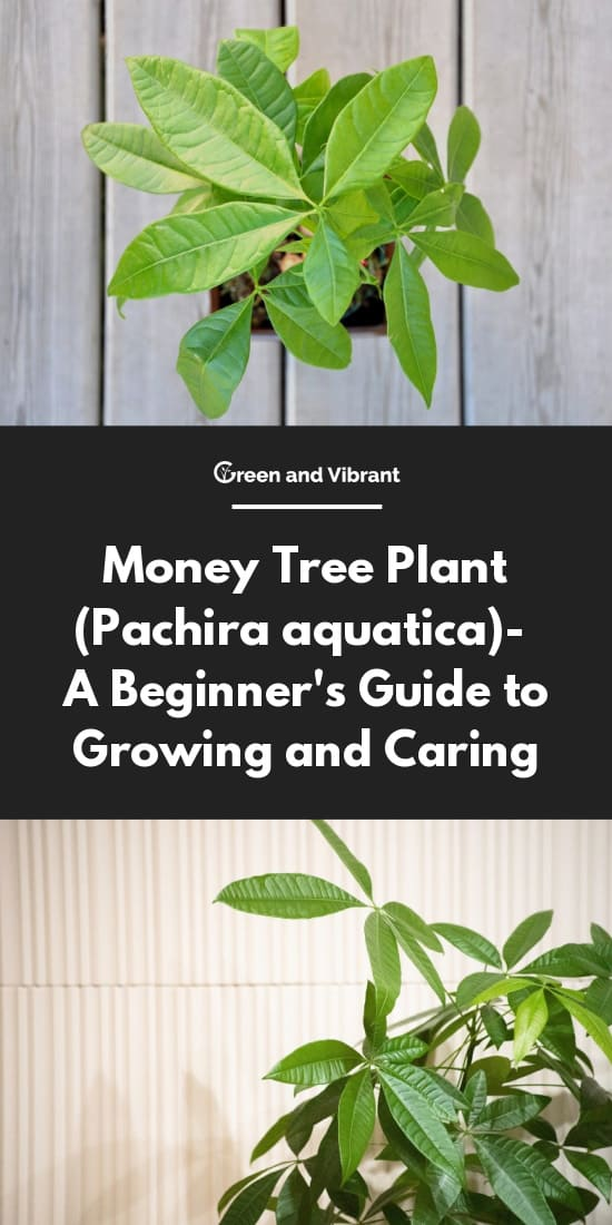 How To Take Care Of Money Tree Money Tree Care Growing The Braided Make Money Online In Zim