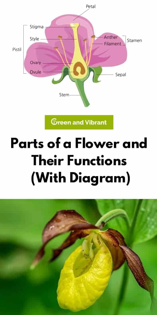 Parts of a Flower and Their Functions (With Diagram)
