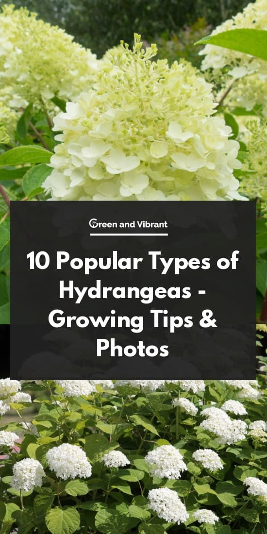 10 Popular Types of Hydrangeas - Growing Tips & Photos