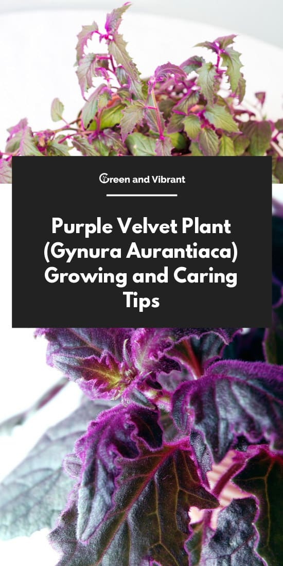 Purple Velvet Plant (Gynura Aurantiaca) Growing and Caring Tips