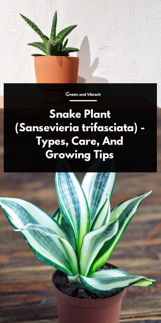 Snake Plant (Sansevieria trifasciata) - Types, Care, And