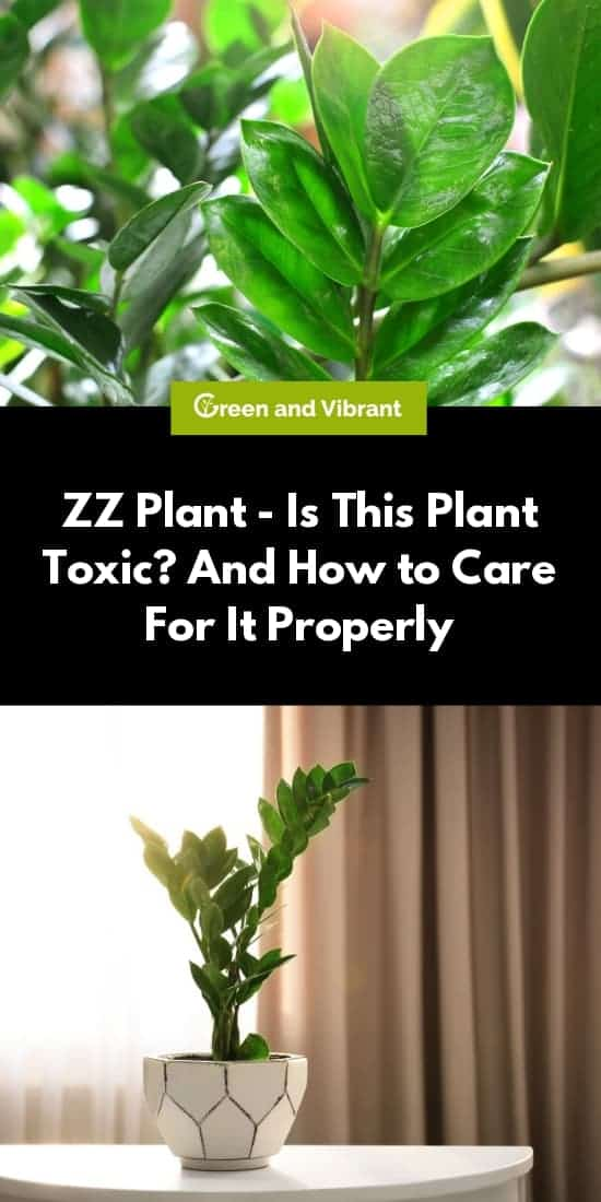 ZZ Plant - Is This Plant Toxic? And How to Care For It Properly