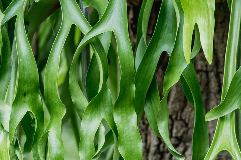 staghorn fern leaves close-up