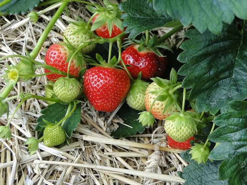 Strawberry growing season