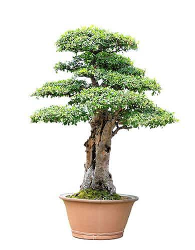 Bonsai Tree Care A Beginner S Growing Guide Trees Com
