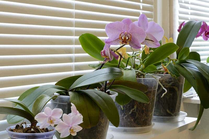 Transparent orchid pots by the window