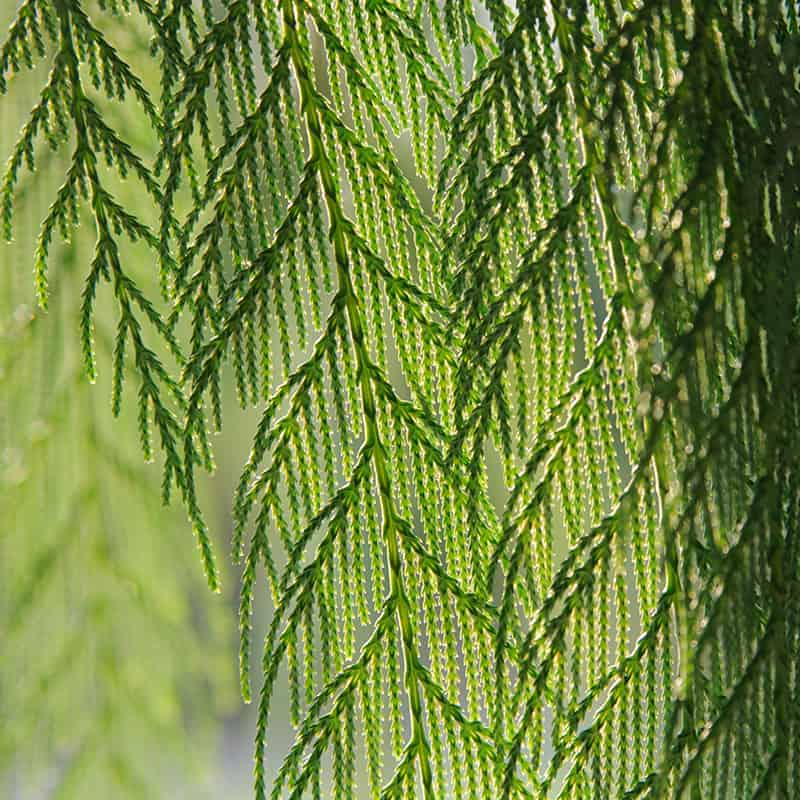 Chinese Weeping Cypress