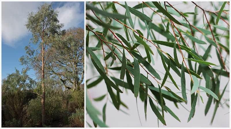 11 Different Varieties Of Eucalyptus Trees Trees Com