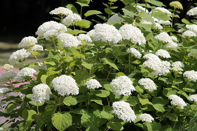 Smooth Hydrangeas (Hydrangea arborescens)