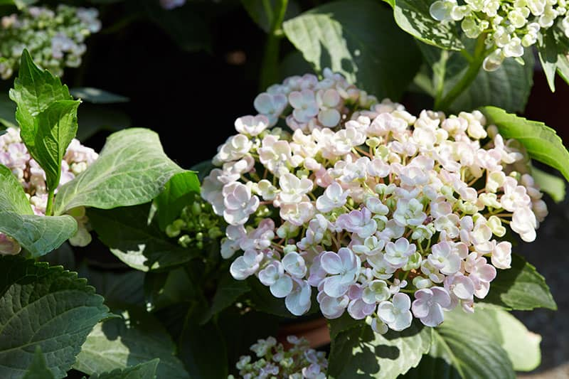 Mountain Hydrangeas (Hydrangea serrata)