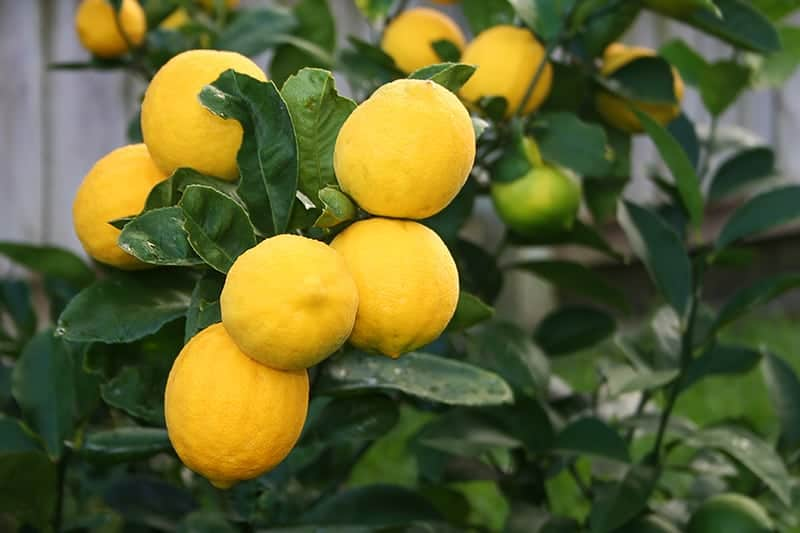 Meyer Lemon (Citrus x Meyerii)