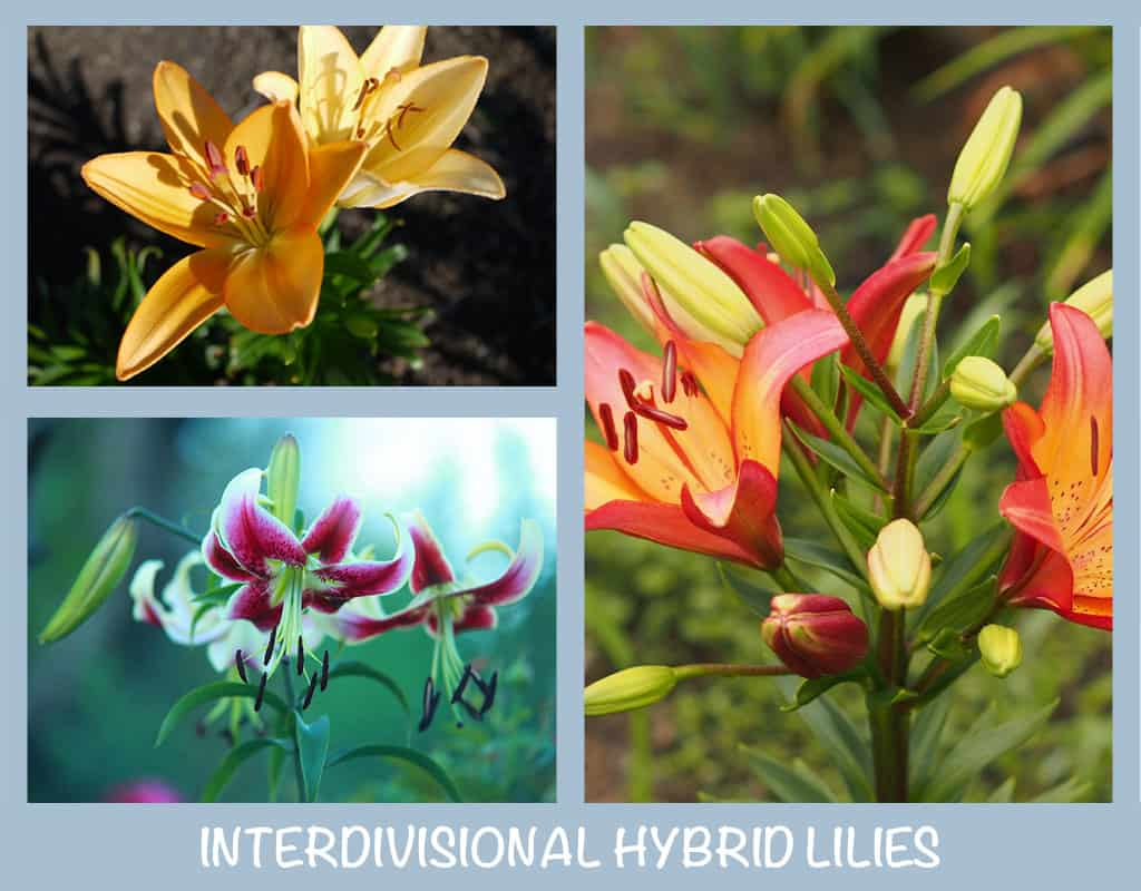 Types Of Lilies Varieties Facts Photos Green And Vibrant