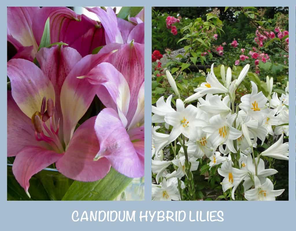 Candidum Hybrid Lilies