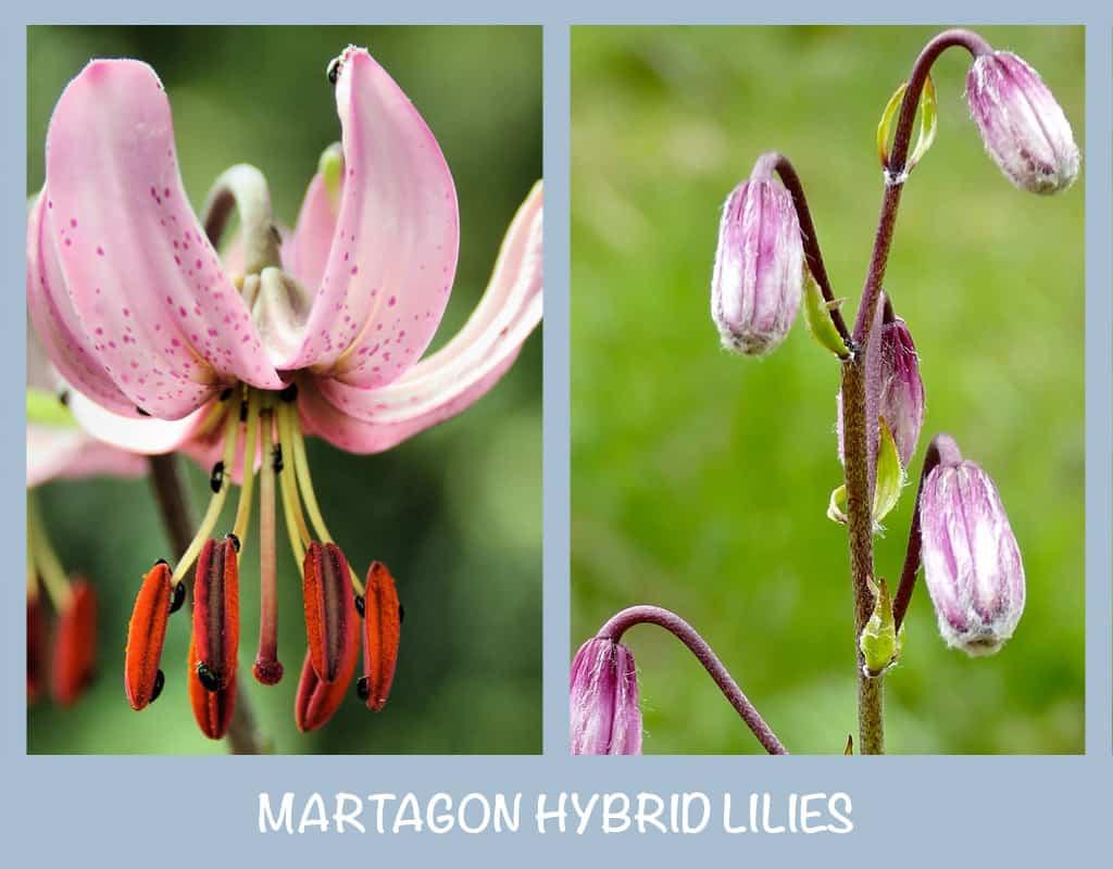 Martagon Hybrid Lilies