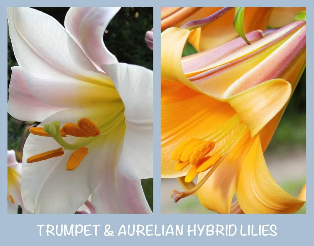 Trumpet and Aurelian Hybrid Lilies