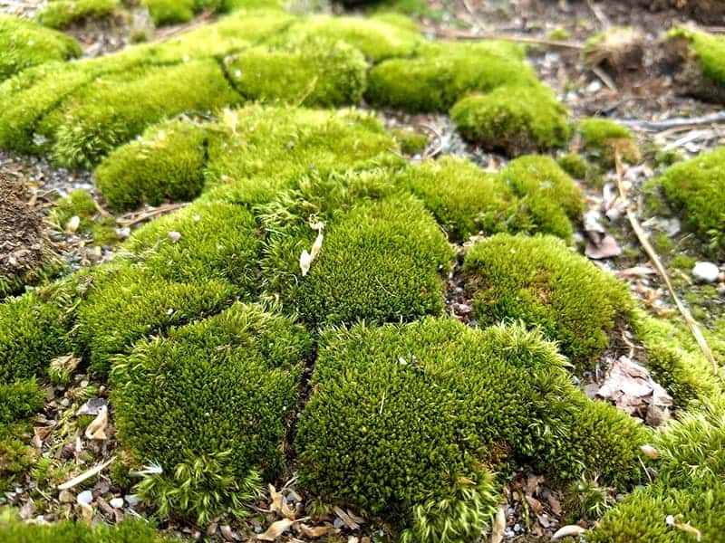 19 Types Of Mosses For Your Garden Green And Vibrant